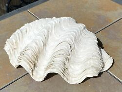 Giant Clam Shell 13andrdquo X 9andrdquo
