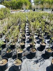 Established Austree Hybrid Willow Tree 4-5and039 Potted Fast Growing 6and039-10and039 A Year