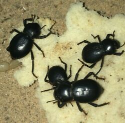 Smooth Death Feigning Beetle 3 Group Of Three Flawed