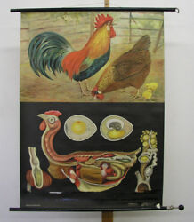 Young Cook Quentell Chicken Gallus Jkq83x114 Vintage Chart 1957 Wall Picture