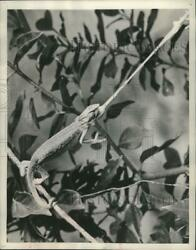 1950 Press Photo A chameleon shooting its tongue to catch a insect mjx53780