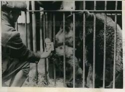1936 Press Photo Whipsnade Zoo In England, Baby Bear Condensed Milk