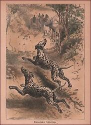 DALMATION DOGS CHASE AFTER COACH hand colored engraving MATTED ORIGINAL 1886