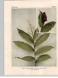 1934 Wildflower Book Plate Wild Spikenard And Yellow Clintonia - Dogberry