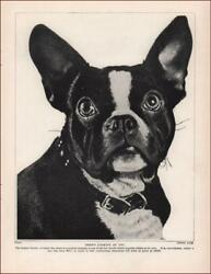 BOSTON TERRIER Rare Breed at This Time vintage print authentic 1935