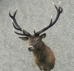 12 Point Royal Red Deer Stag Taxidermy Mount Stag Antlers For Sale