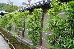 Lady Finger Clumping Bamboo / Bambusa - 20 Value Priced Divisions / Plants
