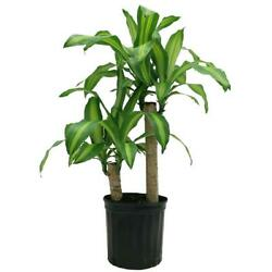 Delray Plants Mass Cane Corn Plant Air Purifying Houseplant 8.75 Inch Grower Pot