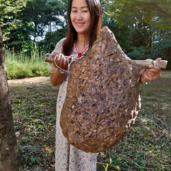 Rare Item Asian Huge Paper Wasp Hornet Nest Art Science Taxidermy Insect