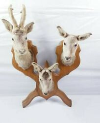 Taxidermy Deer Vintage Stag 3 Heads Antlers Mounted Ready For Hanging Super Rare