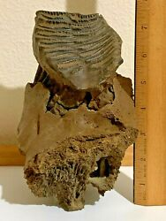 Ice Age Woolly Mammoth Partial Skull And Molar From The Pleistocene Of Siberia