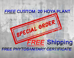 Promo Special Order 20 Hoya Plants Free Shippng Dhl Express