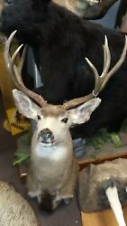 Gorgeous Mule Deer Shoulder Mount Taxidermy New Holland Pa