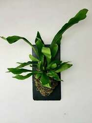 Established Staghorn Fern Plant Wall Mounted On Plaque Decor Home Beautyful