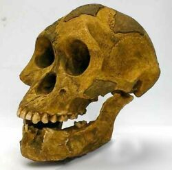 Moulage Fossile Crane Australopithecus Afarensis Lucy Hominid Skull Fossil Cast