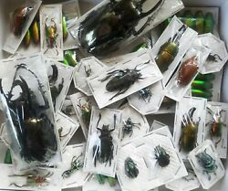 REAL BEETLE MIX Assortment of 5 tropical beetles from Thailand Indonesia Peru