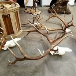 Giant Real Bull Elk Nontypical Taxidermy Mount Brown Antlers Skull Home Decor