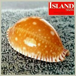 Cypraea Guttata Guttata 12 51.5mm Big-spotted Rare Beauty From The Philippines