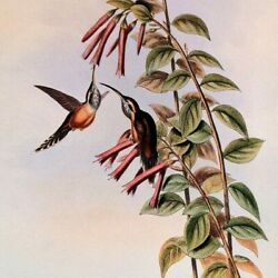 John Gould Grey Throated Hermit Hummingbird Hand Colored Vintage Book Plate 36