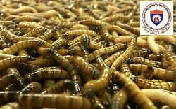 Live Superworms Organically Raised ALL SIZES ALL COUNTS Free Shipping