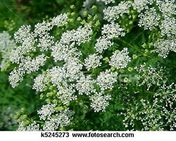 Queen Anneand039s Lace- 500 Seeds- Bogo 50 Off Sale