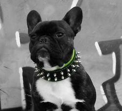 BESTIA hand made leather dog collar XXS to XXL spiked. studded. french bulldog