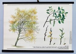 Vintage Pussy Willow Tree Rare School Wall Chart Botanical Original Home Poster