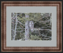 Boreal Owl Scoop Framed Photo 16x20 Frame 11x16 Photo Outdoor Nature Wildlife