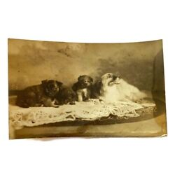 Antique Rppc Photograph Small Toy Dog With Cute Puppies Papillon Photo