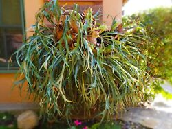 Huge Staghorn Fern, 6 Feet Across, - Local Pick-up Only