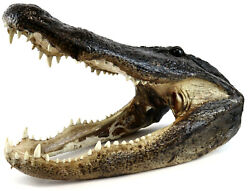 Authentic 20quot; x 10 1 2quot; Massive Real Alligator Head Taxidermy Swamp Teeth VIDEO