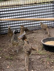 6 Lady Amherst Pheasant Hatching Eggs Shipping Now