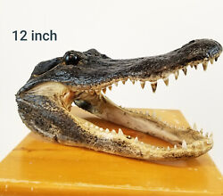Authentic 12quot; Alligator Head From Real Alligator Taxidermy 75 BIG PICS