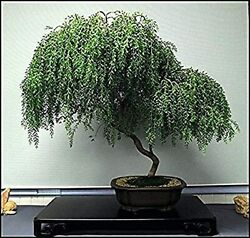 Bonsai Dwarf Weeping Willow Tree Thick Trunk Cutting Indoor Outdoor Live Tre