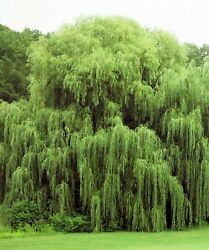 2 Golden Weeping Willow Trees Ready to Plant Live Plants Beautiful Arching