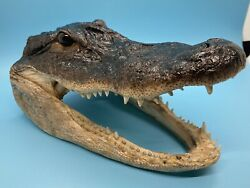 Blue And Brown Eyed Alligator Head From 5' Genuine Louisiana Gator