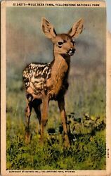 Vtg 1930and039s Mule Deer Fawn In Yellowstone National Park Wyoming Wy Postcard