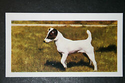 Smooth Fox Terrier Vintage Colour Photo Card # Exc Condition
