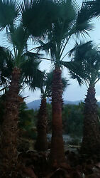 California Fan Palms - Lot of 250 Trunk Feet  (2' to 13' Trunk Height)