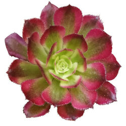 Aeonium Mardi Gras Ruby Rose Succulent 2and039and039 Or 4and039and039 Or 6and039and039