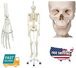 Anatomical Plastic Human Skeleton Stan Hanging 5 Foot Roller Stand,73.2 Heigh