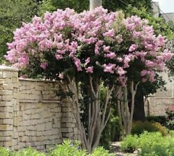 4 Pack Sioux Flowering Crepe Myrtle Trees-pink Blooms- Quart Size-1 Ft Tall