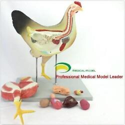 Chicken Poultry Anatomy Model Organs Heart Wing Muscle Veterinary Study Animal M