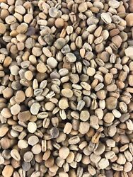 1/2lb American Ginseng Seeds Stratified -2020 Planting Now- Grow Your Own Roots