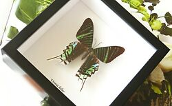 Moth Butterflies Bees Bugs Real Insects Framed Australian Company Baul