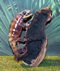 Outstanding Real Taxidermy Giant 19quot; Red Panther Chameleon with Extended Tongue