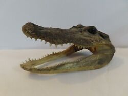 Small Baby Alligator Head Taxidermy Mouth 5 3 4quot; Long