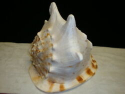 Vintage Large Horned Queen Helmet Conch Shell 8 1/2 High 9 1/2 Long 9' Wide