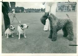 Black and Tan Coonhound Dog breedTwo Jack Russel Terrier. - Vintage photo