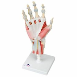 Anatomical Model Hand Skeleton W/ligaments And Muscles